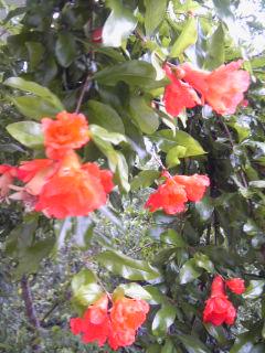 ザクロの花1.jpg