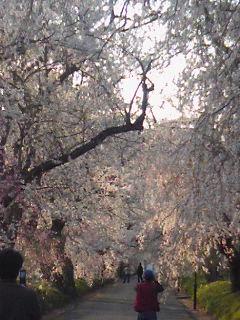 桜のみち.jpg