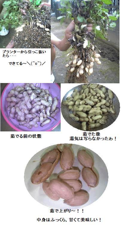 落花生の収穫総合減色J.JPG